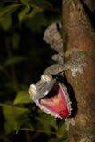 Geco gigante da Folha-cauda, fimbriatus de Uroplatus Foto de Stock Royalty Free