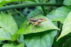 Geco na folha da planta verde, Porto Rico Foto de Stock