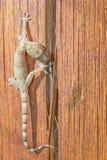 Geco que anda sobre uma parte de madeira Fotografia de Stock Royalty Free