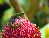 Geco que senta-se na tocha vermelha Ginger Flower na ilha grande de Havaí Imagens de Stock Royalty Free