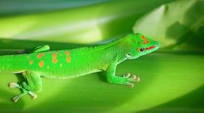 Geco verde Fotografia Stock Libera da Diritti