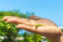 Geco verde na palma de uma mão Imagem de Stock Royalty Free