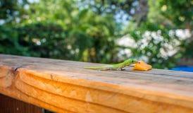 Geco verde que lambe a manga Foto de Stock