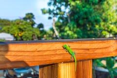 Geco verde que lambe seu olho Imagens de Stock