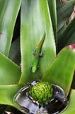 Geco verde su una foglia Fotografie Stock