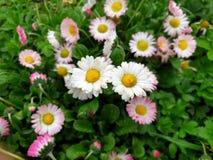 Geconcentreerde margrietbloemen - de lente royalty-vrije stock foto