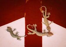 3 gecos estão na parede Fotos de Stock Royalty Free