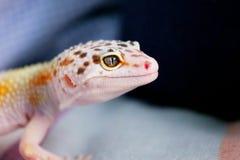 Gecos Lächeln Stockfoto