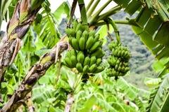Gecultiveerde banaan Stock Afbeelding