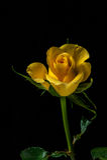 Gecultiveerde bloem Stock Afbeelding