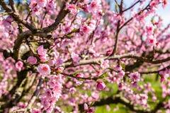 Gecultiveerde gebieden van perzikbomen die met fungiciden worden behandeld stock fotografie