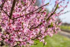 Gecultiveerde gebieden van perzikbomen die met fungiciden worden behandeld stock afbeelding