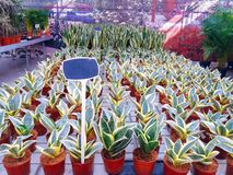Gecultiveerde sierbloemen die in een commerciële plactic folie behandelde tuinbouwserre groeien stock foto