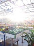 Gecultiveerde sierbloemen die in een commerciële plactic folie behandelde tuinbouwserre groeien royalty-vrije stock afbeeldingen