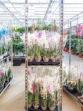 Gecultiveerde sierbloemen die in een commerciële plactic folie behandelde tuinbouwserre groeien stock afbeeldingen