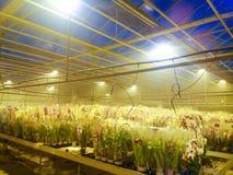 Gecultiveerde sierbloemen die in een commerciële plactic folie behandelde tuinbouwserre groeien stock fotografie