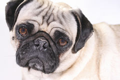 Gedeprimeerde pug Royalty-vrije Stock Foto's