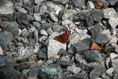 Gedetailleerd beeld van de Bruine vlinder op de stenen stock afbeelding