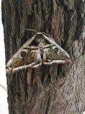 Gedetailleerd beeld van de houten grote nachtmot royalty-vrije stock foto's