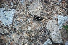 Gedetailleerd beeld van de zwart-witte vlinder op de stenen stock afbeeldingen