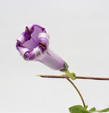 Gedetailleerd beeld van een mauve vouwende bloem Stock Foto