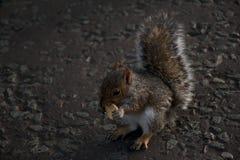 Gedetailleerd beeld van leuke eekhoorn die weinig koekje op de weg eten Stock Foto's