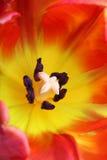Gedetailleerd beeld van tulp stock afbeeldingen