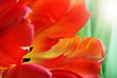 Gedetailleerd beeld van tulp stock fotografie