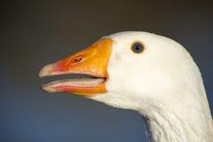 Gedetailleerd hoofd van een witte gans royalty-vrije stock afbeelding