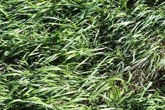 Gedetailleerde dichte omhooggaande mening over groene gras en weiden met sommige kleine die bloemen in de zomer worden genomen royalty-vrije stock fotografie