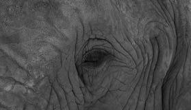 Gedetailleerde foto van het gezicht van een Afrikaanse die olifant, in zwart-wit bij Knysna-Olifantspark wordt gefotografeerd, Zu stock foto's