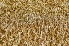Gedetailleerde foto van rijpe tarwe stock afbeelding