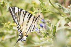 Gedetailleerde gestreepte swallowtailpapilio machaon op een bloem in een gree stock afbeeldingen