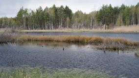 Gedetailleerde het meer van Finland schoot wijd, de bosbomen van de moerasberk stock videobeelden