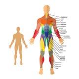 Gedetailleerde illustratie van menselijke spieren Oefening en spiergids Gymnastiek opleiding Royalty-vrije Stock Foto's
