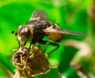 Gedetailleerde macro van grote vlieg in het gras Stock Afbeelding