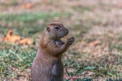 Gedetailleerde mening van één enkel grappig knaagdier, prairiehond, soort Cynomys royalty-vrije stock fotografie
