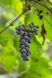 Gedetailleerde mening van druivencluster stock afbeelding