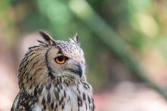 Gedetailleerde mening van Gehoornde uil, Indische Eagle-uil, Bubo-bengalensis stock fotografie