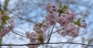 Gedetailleerde mening van gevoelige bleek - roze die kersenbloesem, in Regent` s Park wordt gefotografeerd, Londen royalty-vrije stock fotografie