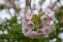 Gedetailleerde mening van gevoelige lichtrose die kersenbloesem, in Regent` s Park wordt gefotografeerd, Londen stock foto