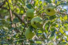 Gedetailleerde mening van kweepeervruchten op boom, typisch fruit van het gebied royalty-vrije stock fotografie