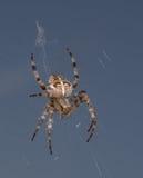 Gedetailleerde spin in het net Royalty-vrije Stock Foto's