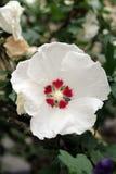 Gedetailleerde Witte Rode Hibiscusbloem Royalty-vrije Stock Fotografie