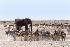 Gedrängtes waterhole mit Elefanten, Zebras, Springbock und orix Stockfotografie
