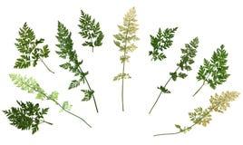 Gedrukt Droog die Herbarium van Weidegras op Witte Achtergrond wordt geïsoleerd stock afbeeldingen