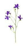 Gedrukt en droog bloemenklokje Geïsoleerde stock foto