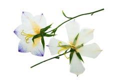 Gedrukt en droog bloemenklokje Geïsoleerde stock afbeelding