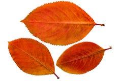 Gedrukt en droog chokeberry blad & x28; aronia& x29; , geïsoleerd royalty-vrije stock foto