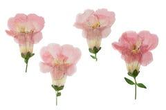 Gedrukt en droog die bloemenklokje, op wit wordt geïsoleerd royalty-vrije stock afbeelding